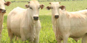 O Projeto Pecuária do Futuro tem o objetivo de desenvolver ferramentas de suporte à decisão em sistemas de produção de gado de corte.FOTO-DIVULGAÇÃO