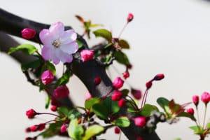 Sakura, a árvore que nasceu da magia do Amor Verdadeiro