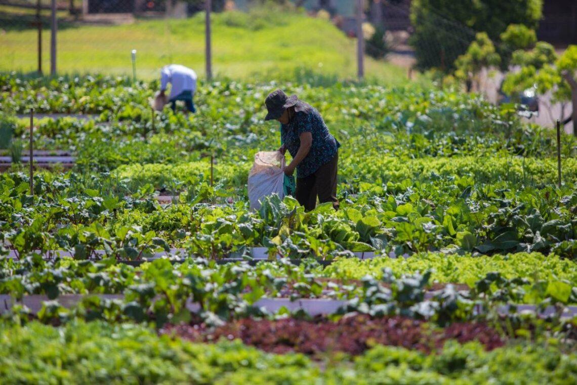800 toneladas de alimentos sem agrotóxicos são produzidos anualmente pelas hortas comunitárias maringaenses