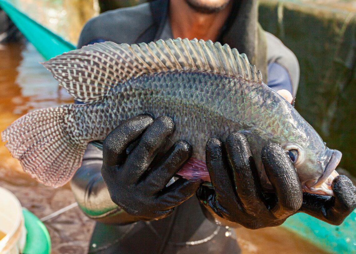 Paraná se mantém líder na criação de tilápia no Brasil