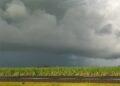 As chuvas das últimas semanas trouxeram alívio aos produtores de cana de açúcar do estado.